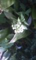 咲いちゃった蕗の薹?