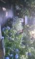 今日の明月院〜雨いっぱい降ったので元気いっぱい♪大輪です。