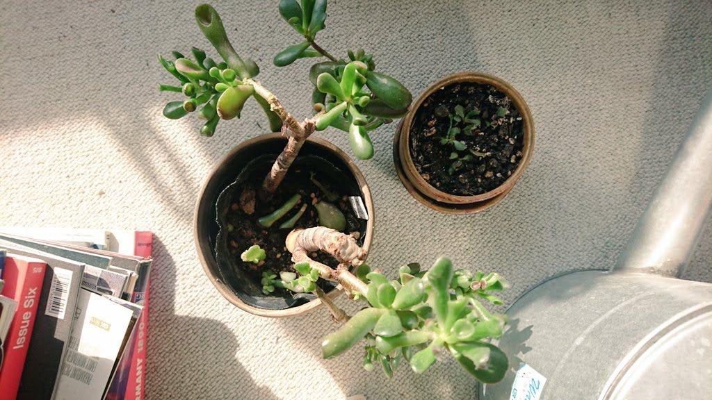 親株の陶器の挿し穂の鉢