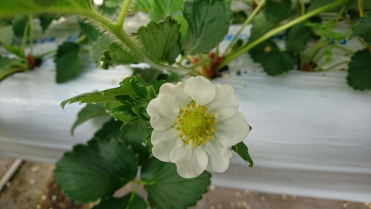 八重咲きの花びらが多いいちごの花