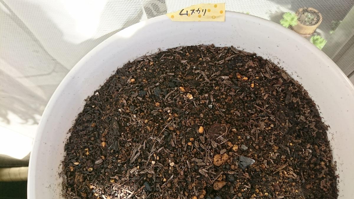 ムスカリを植えた丸浅の鉢