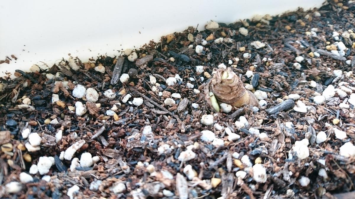 ガーデンジャイアントの芽です。