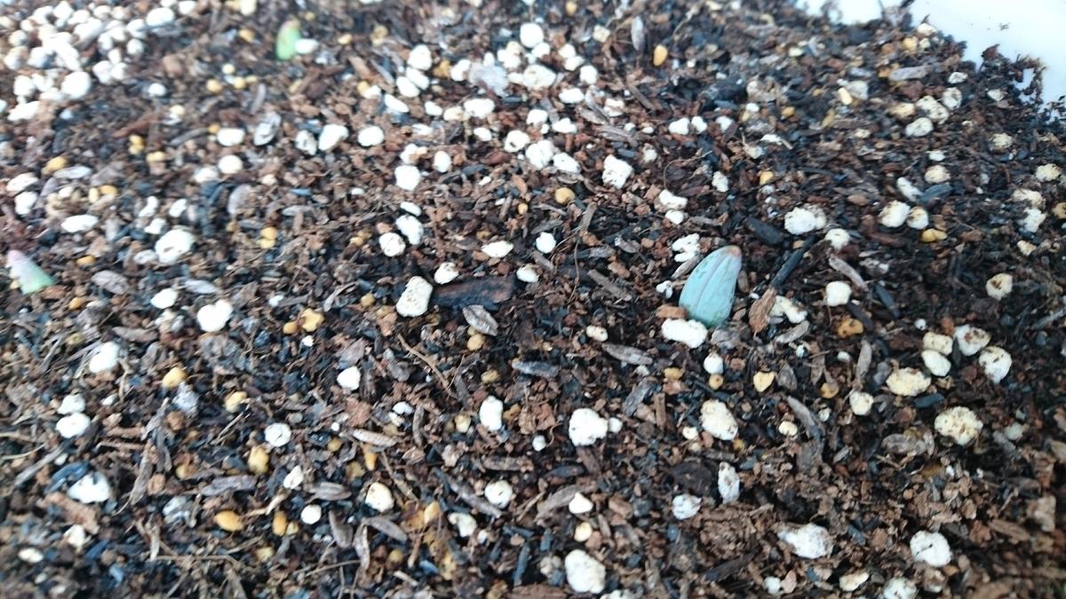 発芽した八重咲きチューリップ
