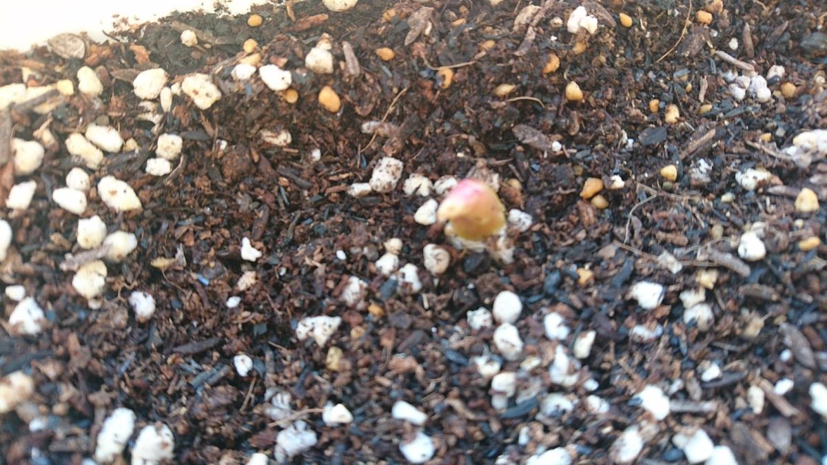 キャンディプリンスという名前のチューリップの芽です。
