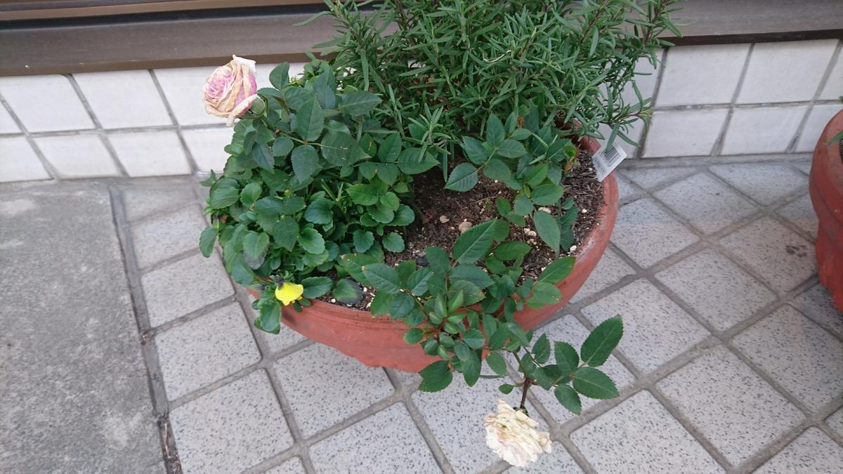 1:ローズマリー、ミニバラ、  黄色ビオラの鉢