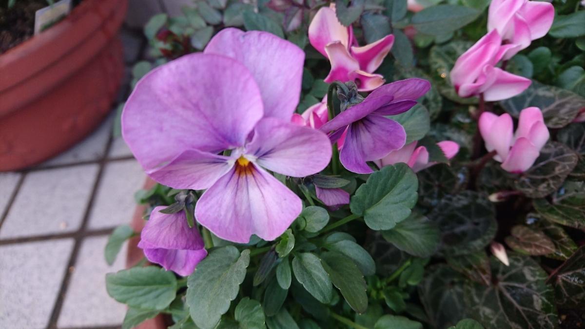 紫のビオラ