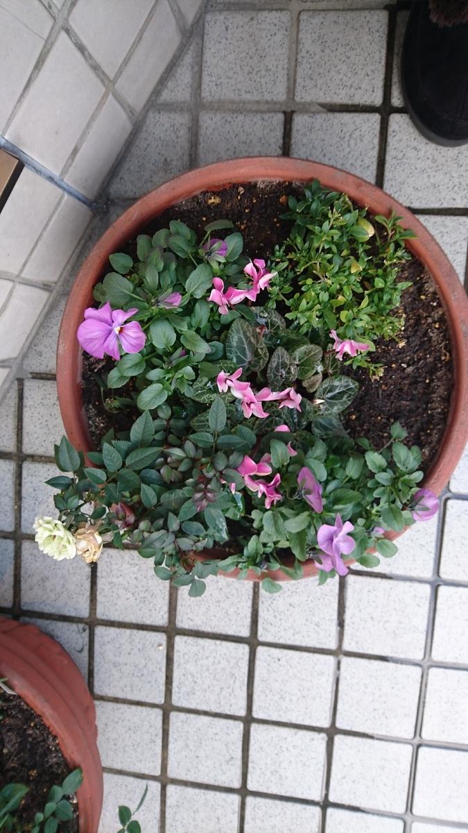 2:シクラメン(ガーデンシクラメン)、  紫ビオラ、ミニバラ、アリッサム