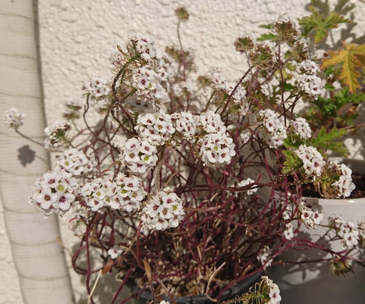 スーパーアリッサムスノープリンセスの白いお花