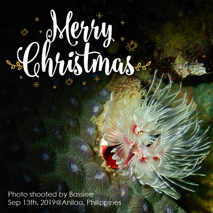 クリスマスツリーワーム