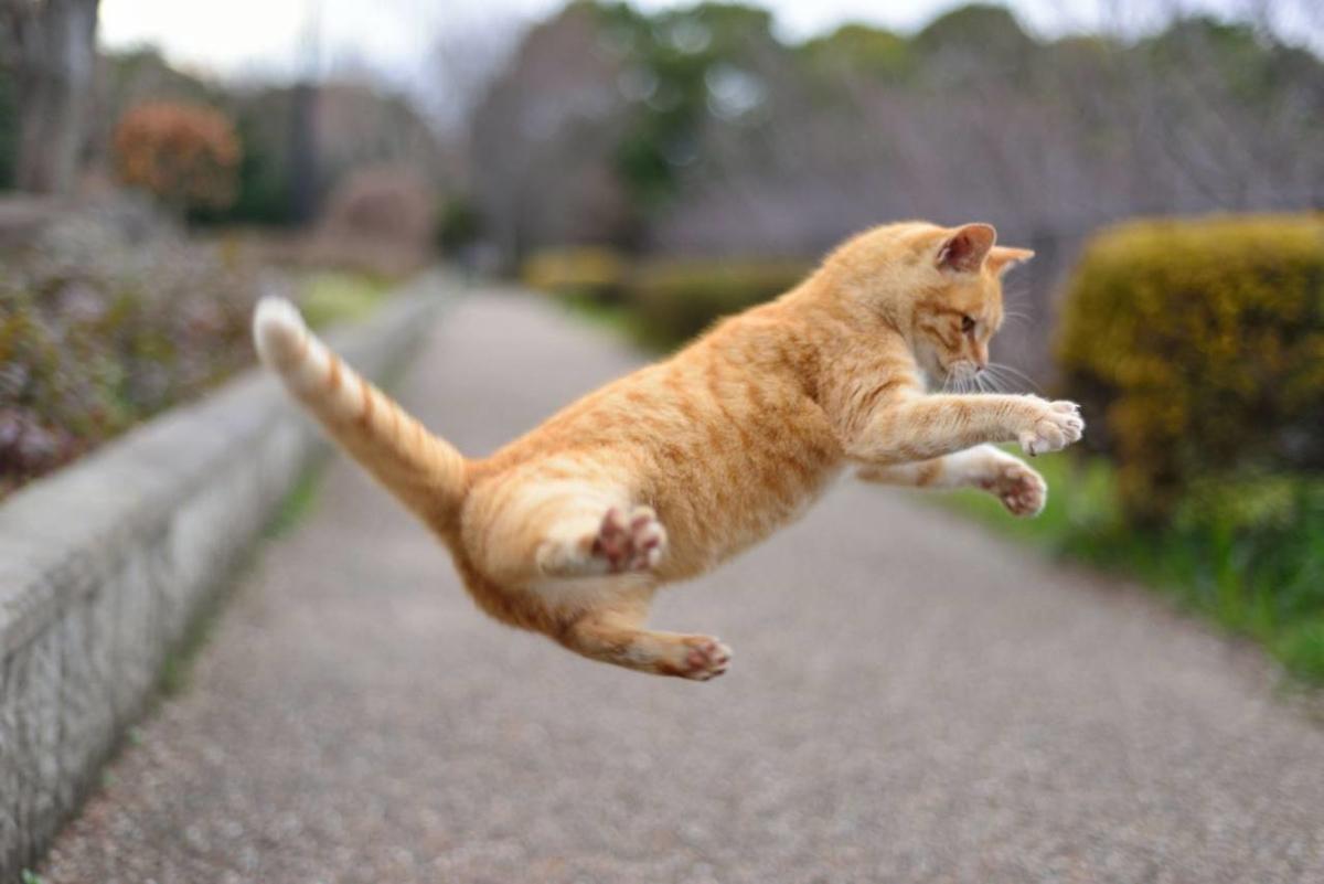 かわいいネコジャンプ