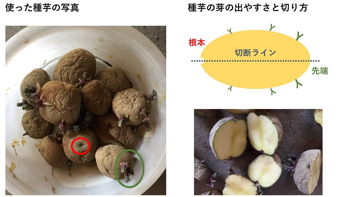 ジャガイモの種芋と切り方