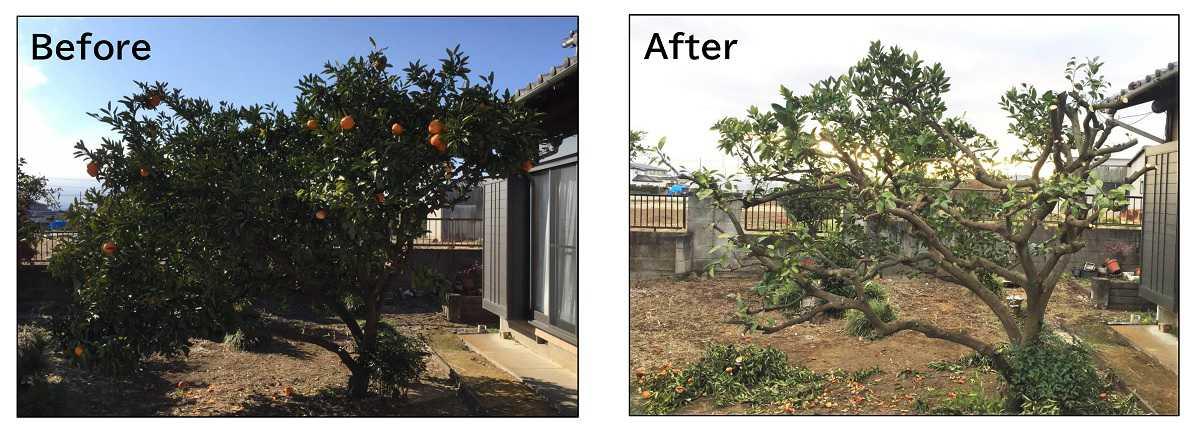 ミカンの木の強剪定前後の写真