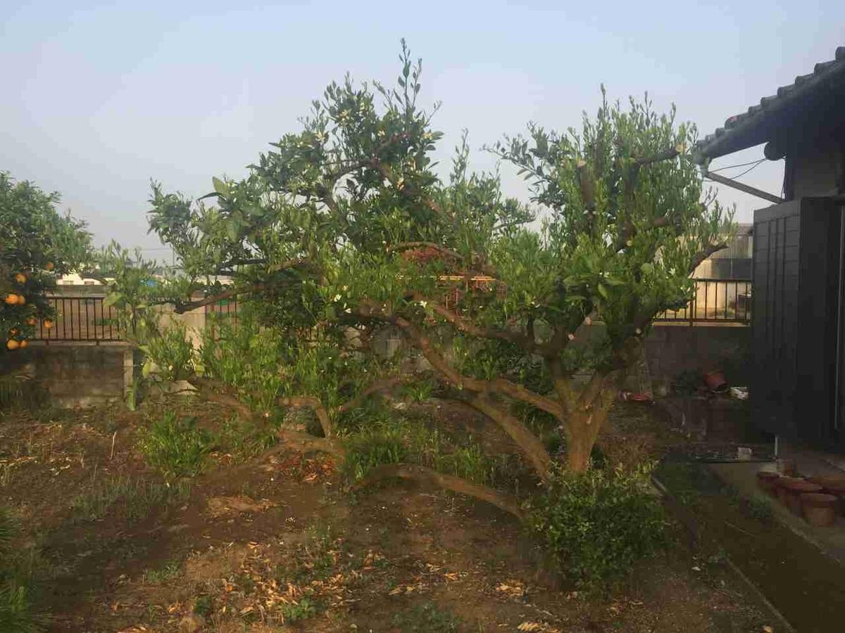 強剪定2ヵ月後のミカンの木