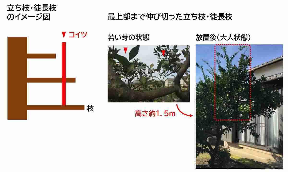 剪定すべきミカンの徒長枝と立ち枝