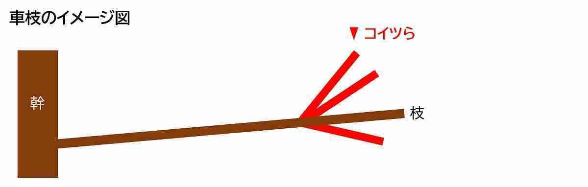 剪定すべきミカンの車枝のイメージ図