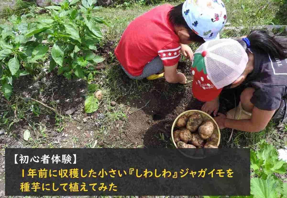【初心者体験】1年前に収穫した小さい『しわしわ』ジャガイモを種芋にして植えてみた