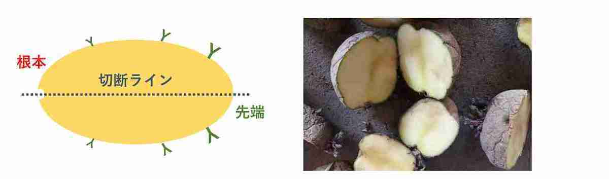 ジャガイモの種芋の切り方