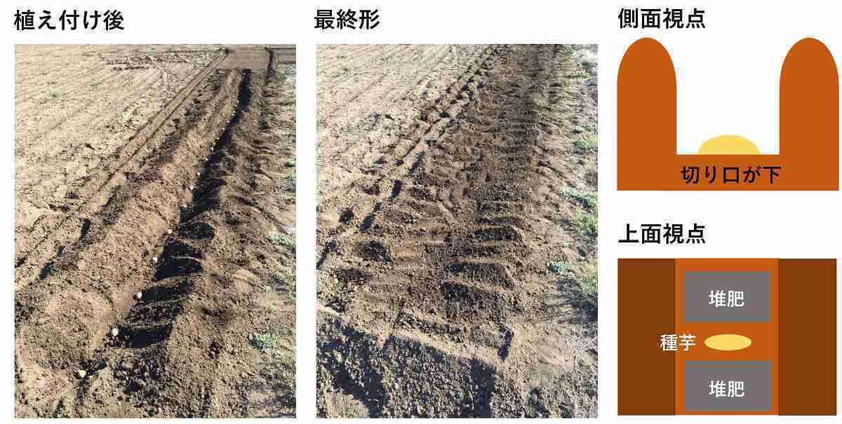 ジャガイモの種芋の植え付け方法と肥料の置き方