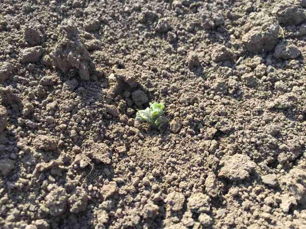 しわしわの種芋から出たジャガイモの新芽1