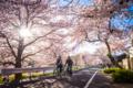 京都新聞写真コンテスト 「桜のアーチ抜けて」