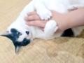 [ねこ][猫][群馬]ラッコ!