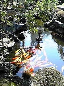 得月楼さんにて池の鯉