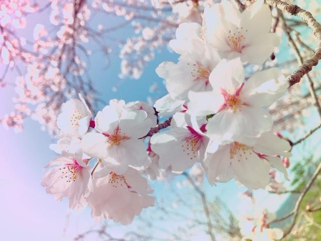 20180326桜
