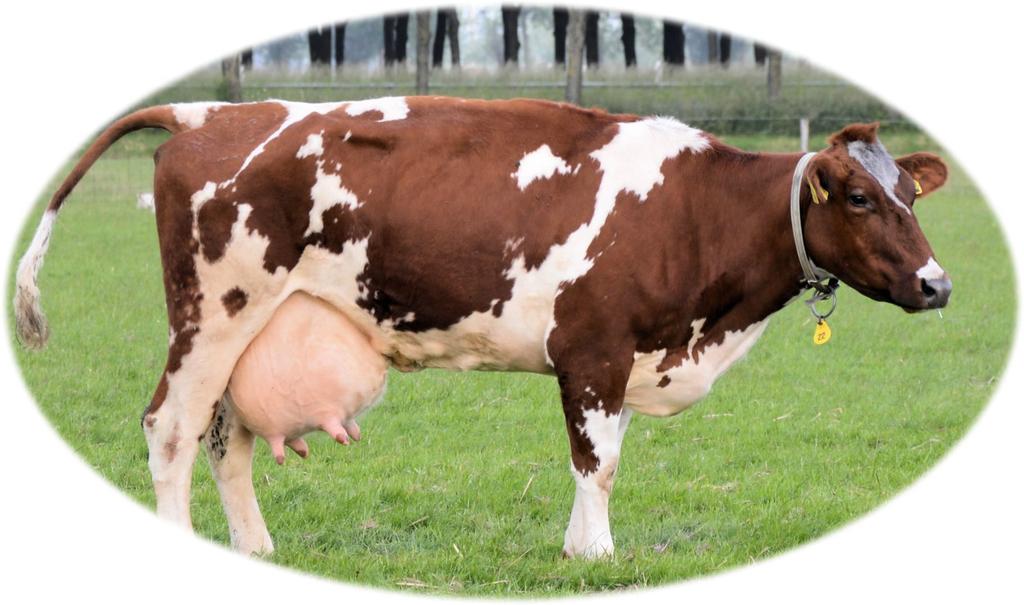 乳がとても大きい乳牛