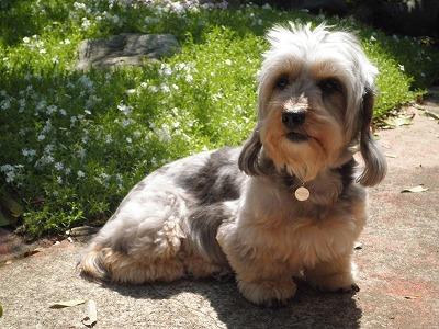 ファルコン似の犬の写真