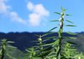 京都新聞写真コンテスト ゴマの花