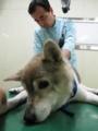 吉田動物病院 院長先生2012_0814_0838