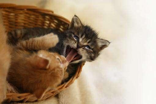 毛づくろいし合う二匹の子猫