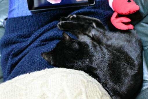 飼い主の膝元で眠る猫