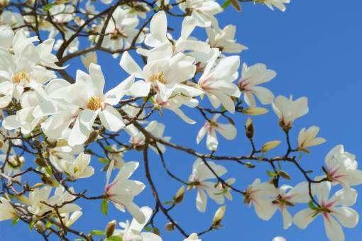 青空とコブシの花