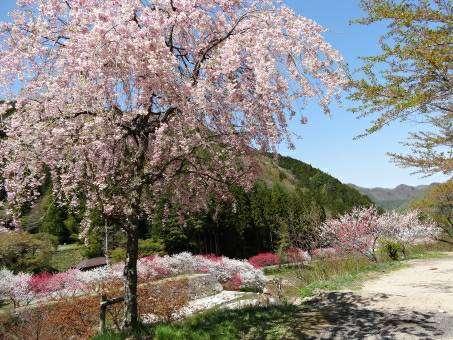 満開の花桃の写真