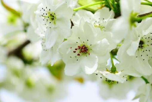 満開の梨の花
