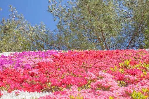 一面のツツジの花