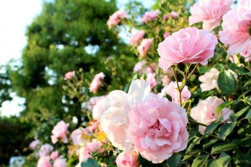 薄桃色の牡丹の花
