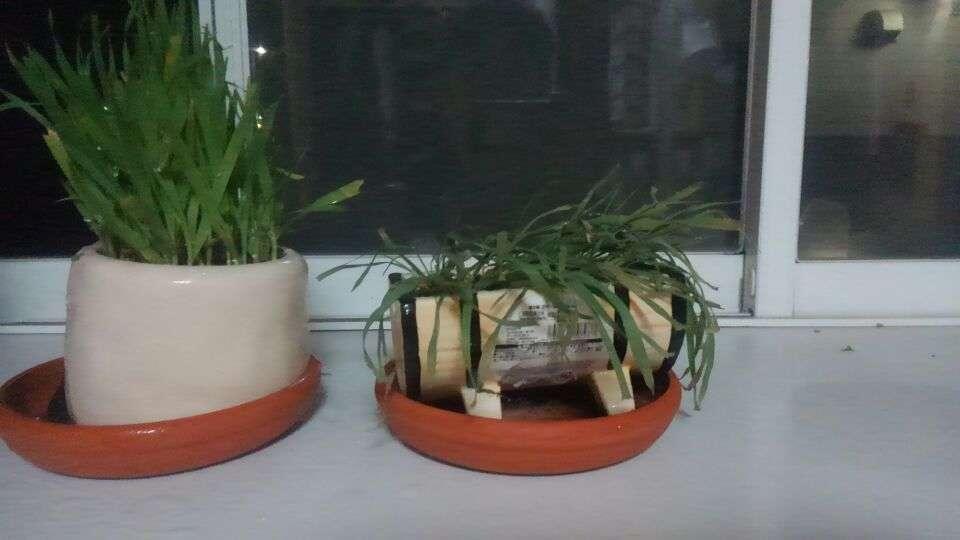 枯れた猫草と綺麗に生えた猫草