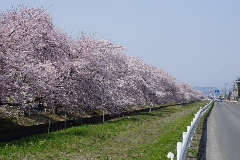 十和田電鉄廃線沿いの桜並木
