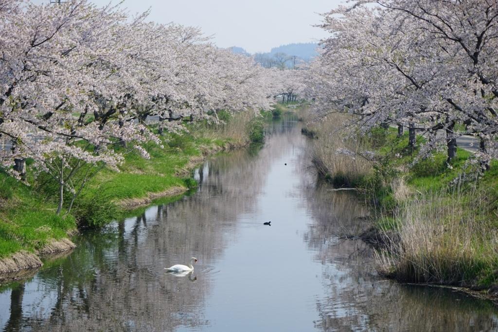 桜と小川と白鳥