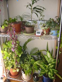 うちの観葉植物たち