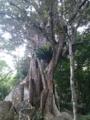 [twitter] 西表島のサキシマスオウノキ。大きくて荘厳な感じ 沖縄県八重山郡竹