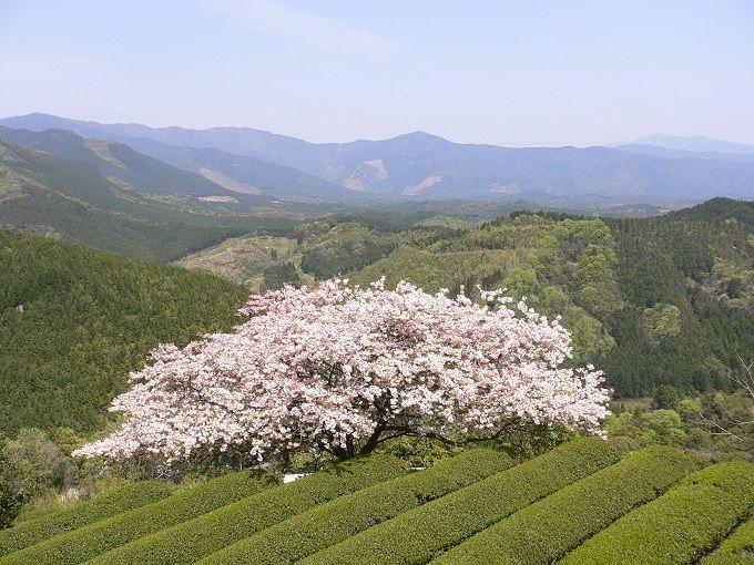 「遠山桜」 あさぎり町で満開 - ...
