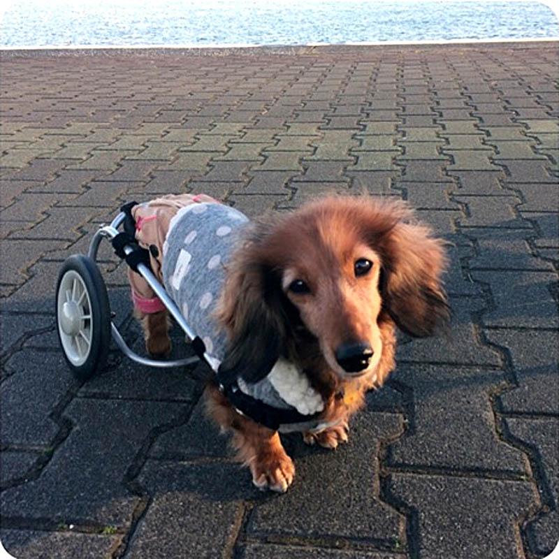 車椅子を使っている犬を見たことがありますか?