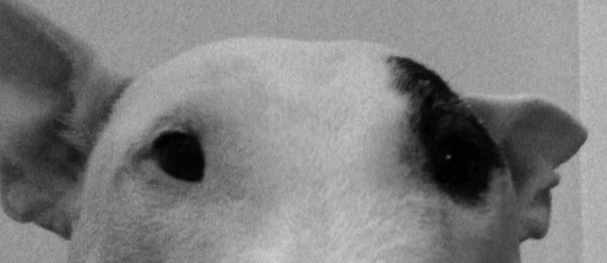 ベトナム戦争の犬