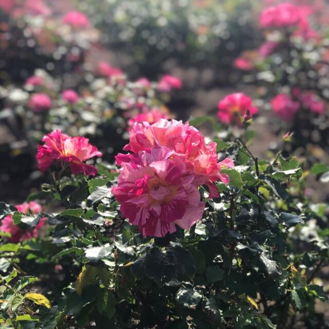 薔薇が見頃