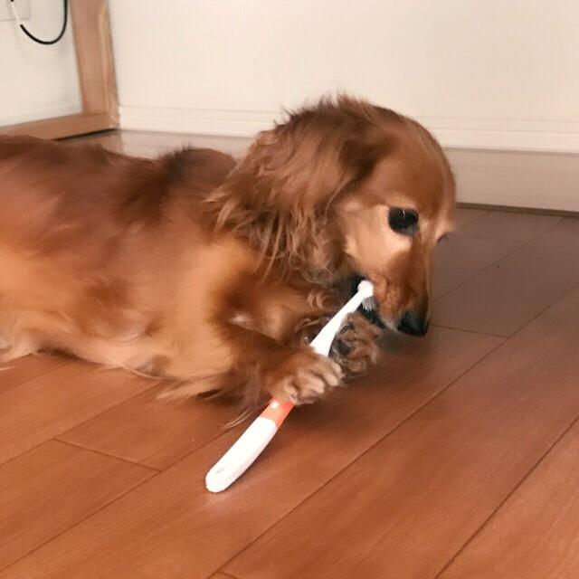 ティアラの歯磨き