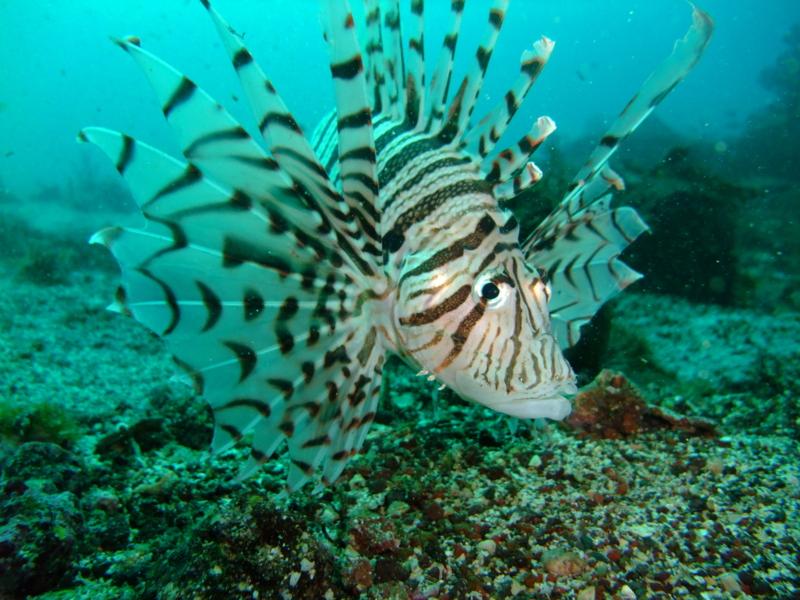 ミノカサゴ ミノカサゴ 20090926  個別「[2009][伊豆][初島]ミノカサゴ」の写真