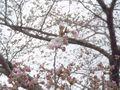 [日々] sakura